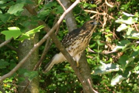 Broad Wing Hawk